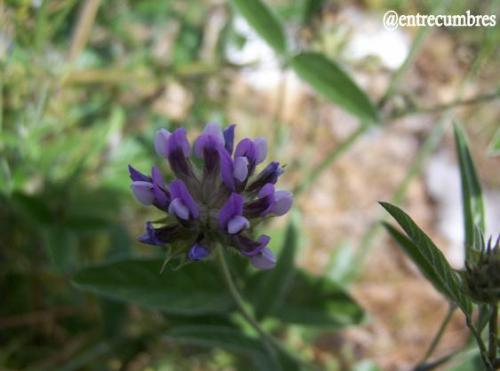 Violetafurmaria